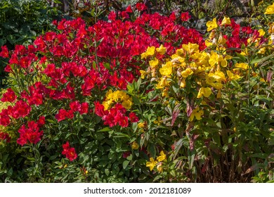 Red and Yellow Peruvian Lilies in bloom