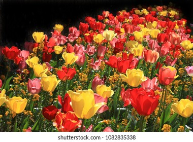 Red, Yellow and Pink Tulips in an English Garden