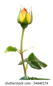red and yellow rose bud over white