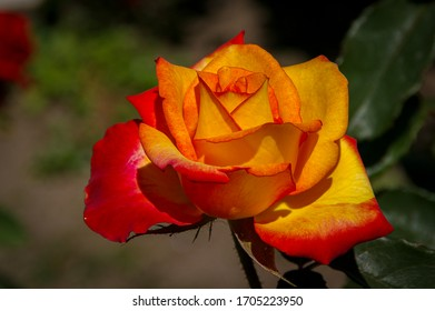 Red and yellow rose flower with orange color tones