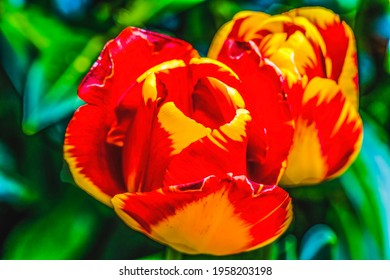 Red Yellow Spring Banja Luka Darwin Hybrid Tulips Blooming Macro.  Named after city in Bosnia, tulips are native to Turkey. - Shutterstock ID 1958203198