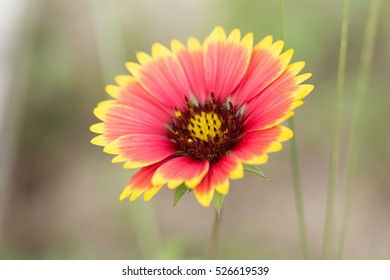 Red and Yellow Spring Flower