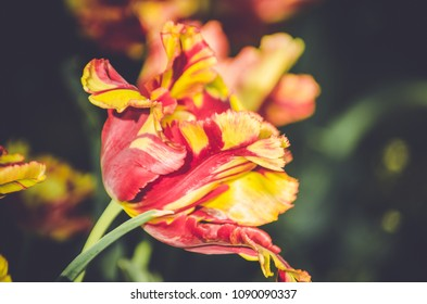 Red and yellow stripped tulip, flowers of love and joy