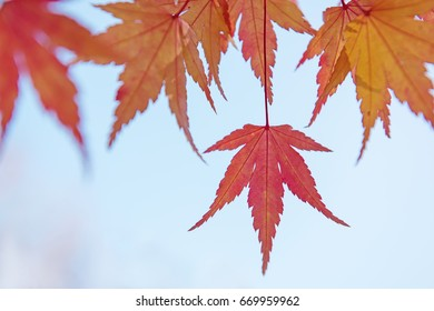 Red and yellow tree leaves on a light blue sky background in autumn. Outdoor photo without filters. Wonderfull background.
