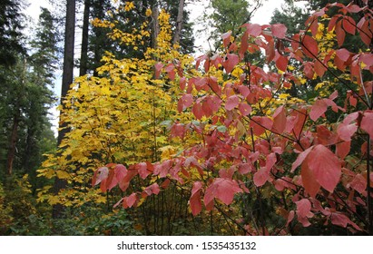 Red and Yellow Trees in the Forest