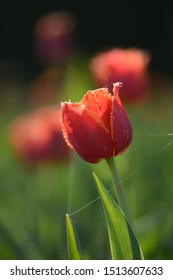 Red and yellow tulip in a field with backlighting and visible depth of field. Soft focus, bokeh and sunlight