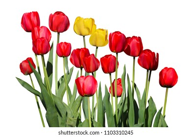 Red and yellow Tulip Flower plants isolated on white background