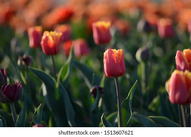Red and yellow tulips in a field with backlighting and visible depth of field. Soft focus, bokeh and sunlight