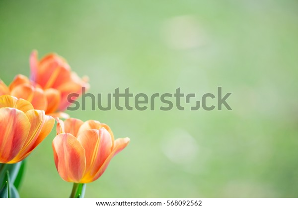 Red and yellow Tulips flower field