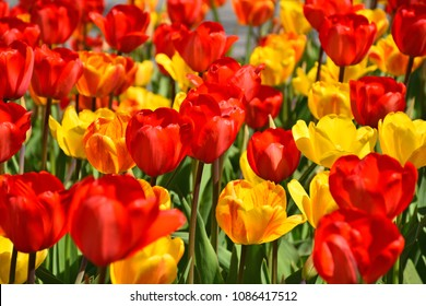 Red and yellow tulips in the Garden under the sunny day in the spring time at Arendal city, Norway.
