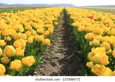 red and yellow tulips on the field