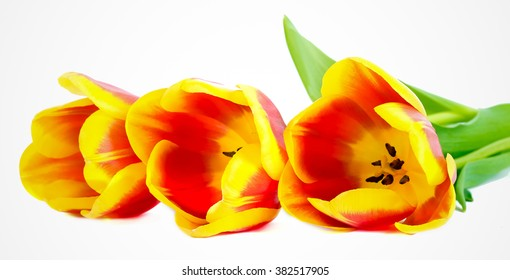 Red and yellow tulips over white background