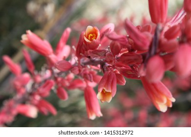 red yucca plants with small flowers 5549