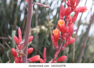 red yucca plants with small flowers 5529