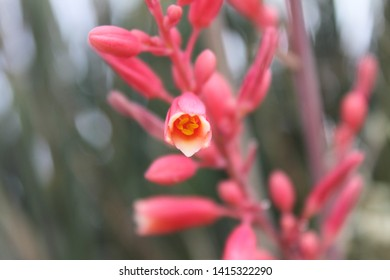 red yucca plants with small flowers 5522