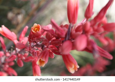 red yucca plants with small flowers 5553