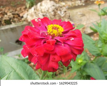red zinnia elegant, known as youth-and-age, common zinnia or elegant zinnia, an annual flowering plant of the genus zinnia, is the one of the best known zinnias