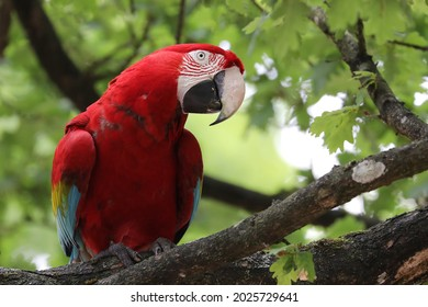 red-and-green macaw (Ara chloropterus) on a branch