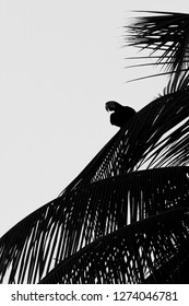 Red-and-green Macaw sitting on palm tree leaf, Trinidad island. Wildlife scene from Caribean nature, exotic adventure, parrot silhouette isolated, black and white