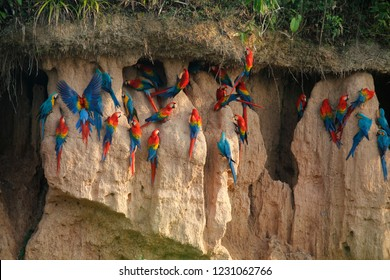 Red-and-green macaws fly from a clay lick in the Peruvian Amazon Rainforest.