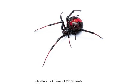 Redback Spider isolated on a white background, Australian Black Widow, closeup macro detail of deadly venomous spider.