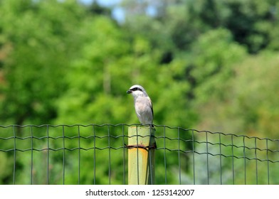 The red-backed shrike (Lanius collurio) is a carnivorous passerine bird and member of the shrike family Laniidae. The male bird is sitting on the pedestal of the fence in the park.