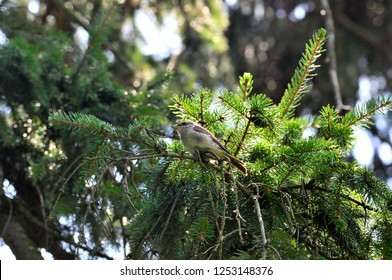 The red-backed shrike (Lanius collurio) is a carnivorous passerine bird and member of the shrike family Laniidae.Young bird, nestling hiding in the branches of spruce.