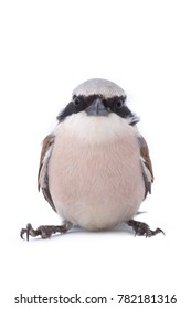 Red-backed Shrike (Lanius collurio) isolated on a white background  in studio shot