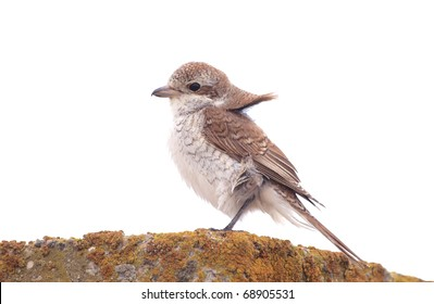 A Red-backed Shrike (Lanius collurio) resting on an stone fence covered with lichens, in a windy day.