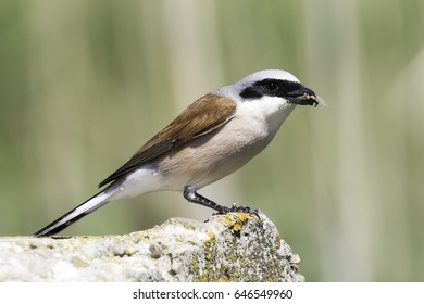 red-backed shrike male with food in natural habitat / Lanius collurio