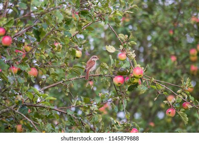 A red-backed shrike sits on a branch