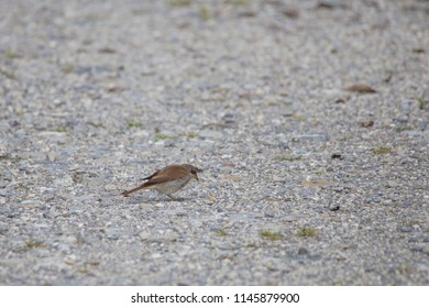 A red-backed shrike sits on a gravel road and catches an insect