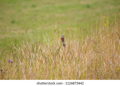 A Red-backed Shrike sits at a stalk in an uncut nature meadow