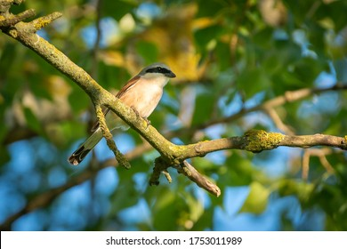 Red-backed Shrike sitting on the dry branch, it is small predatory bird with  sharp predatory bent beak and black mask on the eyes like a criminal