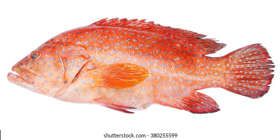 Red-banded grouper isolated on white background