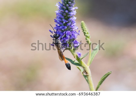 Bộ sưu tập côn trùng 2 - Page 2 Redbanded-sand-wasp-ammophila-sabulosa-450w-693646387