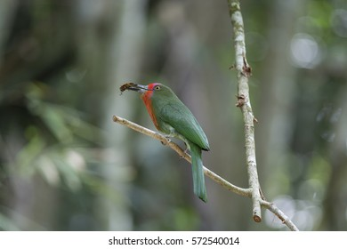 Red-bearded Bee-eater eating insects on branches.