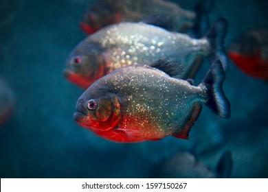 Red-bellied piranha Pygocentrus nattereri or Red piranha in their habitat.