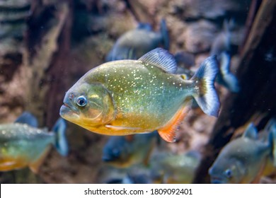 The red-bellied piranha (Pygocentrus nattereri) is a species of piranha native to South America. They are omnivorous foragers and feed on insects, worms, crustaceans and fish.