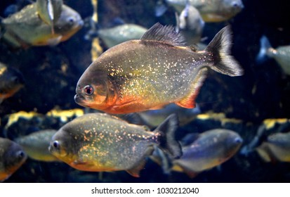 The red-bellied piranha or red piranha is a species of piranha, freshwater habitat, travel in shoals as a predatory defense,but rarely exhibit group hunting behavior. They are a popular aquarium fish.