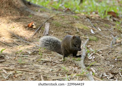 Red-bellied Squirrel