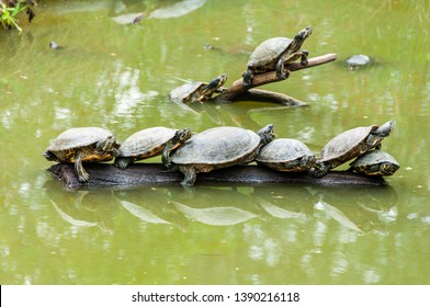 Red-bellied turtle in a pond