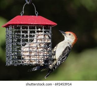 """""""Red-bellied Woodpecker"""" Another frequent visitor to our backyard, a male Red-bellied Woodpecker. Loves suet, but will feed on various other bird-feeder content."""