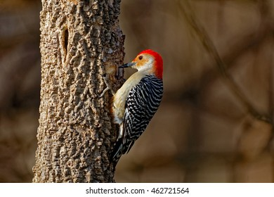 A Red-Bellied Woodpecker drums on a tree. These talkative woodpeckers are fun to watch as they wander around the woods.
