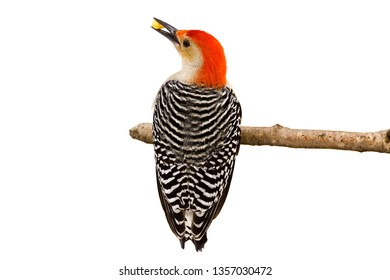 Red-bellied woodpecker holds a kernel of corn in its beak, Full view of the striped black and white feathers and a profile of its red head holding a piece of corn in its beak. White background