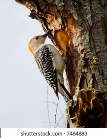 Red-bellied Woodpecker (Melanerpes carolinus) carving out a nest cavity.  Shot at Brazos Bend State Park near Houston, Texas.