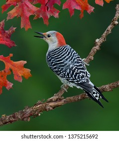 A red-bellied woodpecker is perched on a branch surrounded with fall leaves.