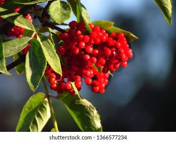 Red-berried elder, Sambucus racemosa, red elderberry, ripe red berries on a branch