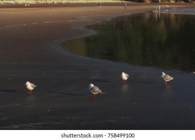 Red-billed Gulls group standing at piha beach, new zealand