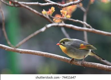 red-billed leiothrix, chinese nightingale